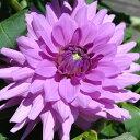 レア ダリア鉢植え8号販売  晴朗(中大輪)やまきのダリア 【S】【AN】【S】【1株】