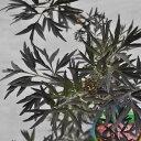 【常緑低木】サンブカス ブラックレース(西洋ニワトコ)