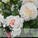 【バラ苗】 京成バラ園 メイアン ボレロ 大苗 6号鉢