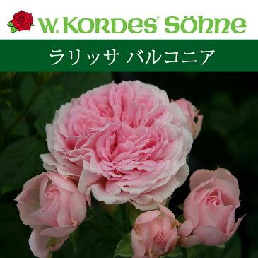 【バラ苗】 京成バラ園 コルデス ラリッサ バルコニア 大苗 7号鉢 ピンク系 FL NEW!!
