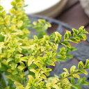 【常緑低木】プリペット レモンライム 9cmPOT ×3