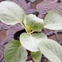 秋植え キャベツの苗 実生苗 3POTセット