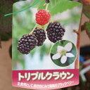 ブラックベリー トリプルクラウン 苗 2年生【果樹苗】【特苗】