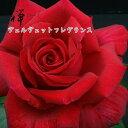 【バラ苗】 禅ローズ ヴェルヴェット フレグランス 大苗 7号鉢 赤系 HT【2018 2019年予約 バラ以外の商品と同梱不可】