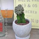 【観葉植物】【多肉植物】【サボテン】グリーンラウシー接ぎ 陶器鉢植え 【ギフト】【自分用】