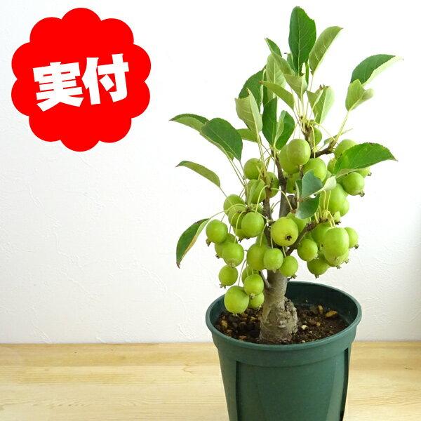姫りんご ヒメリンゴ 実終わり【盆栽 bonsai 盆栽 果樹】落葉中!特価! 姫リンゴ