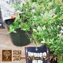 常緑ブルーベリー オーナメンタルベリー インディゴブルー メディアでも話題 常緑樹
