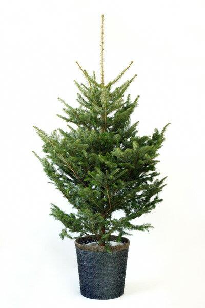 もみの木 170cm 10号 鉢植え 本物 クリスマスツリー モミの木