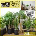 送料無料 観葉植物 セット 8号+6号 セラアート鉢 大型 インテリア モンステラ 幸福の木 開店祝