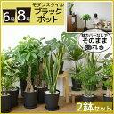 送料無料 観葉植物 セット 8号+6号 セラアート鉢 大型 ...