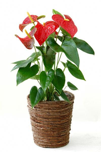 アンスリウム アンスリューム ダコタ 鉢カバー付 トロピカル インテリア 観葉植物 アンスリウム 母の日