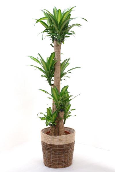 ドラセナ・マッサンゲアナ(幸福の木)10号 おト...の商品画像
