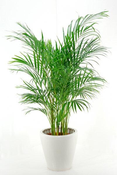 ボリュームいっぱいトロピカル、アレカヤシ8号鉢【観葉植物】【インテリア】 観葉植物