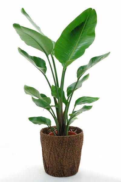 オーガスタ 観葉植物 オーガスタ 8号鉢 大型 インテリア 観葉植物 オーガスタ 父の日...:saisyokukenbi:10000148