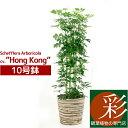 ホンコンカポック10号鉢 観葉植物 お祝い 大型 インテリア アジアン 観葉植物 カポック