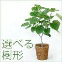 ウンベラータ 観葉植物 フィカス ウンベラータ 8号鉢 大型 インテリア アジアン おしゃれ 引越し祝い 開店祝い 新築祝い お祝い 観葉植物