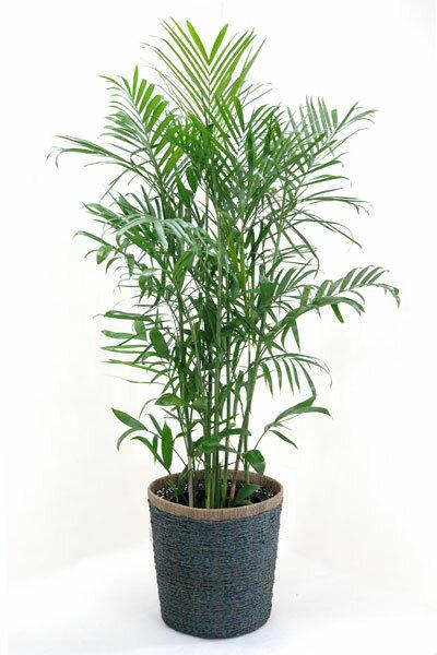 これって竹?いえヤシです 【お取り寄せ】チャメドレア・セフリジー10号鉢(大鉢)【観葉植物】贈答・お祝い・法人ギフトに! 【大型】【アジアン】【植木】【インテリア】 観葉植物02P03Sep16 セフリジー【観葉植物】【スタイリッシュ】【のし対応】【ラッピング無料】【ギフトカード無料】【配送日指定】【楽ギフ_のし宛書】【楽ギフ_メッセ入力】