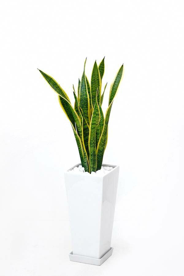 観葉植物 サンスベリア・ローレンティ スクエア白陶器 送料無料 開店祝い お祝い 大型 インテリア アジアン 観葉植物 父の日