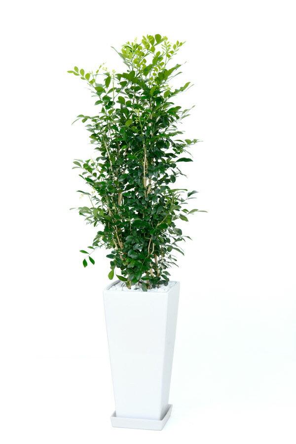 ゲッキツ シルクジャスミン スクエア白陶器 観葉植物 インテリア 大型 観葉植物 シルクジャスミン 敬老の日