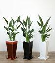 ストレリチア・レギネ 選べる3色スクエア 陶器 観葉植物 インテリア アジアン おしゃれ 引越し祝い 開店祝い 新築祝い お祝い 大型