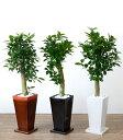 ガジュマル 多幸の木 選べる3色スクエア 陶器 観葉植物 インテリア アジアン おしゃれ 引越し祝い 開店祝い 新築祝い お祝い