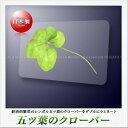 【高山園芸】五つ葉のクローバー ラミネートカード