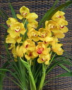 [exchange of presents use for homes] free shipping! Cymbidium [opening of a store celebration, a gift, the year-end present presents it on Mizuno   cymbidium   orchid, , the birthday when I was brought up in good health while hearing the sound of the clear stream in nature which the green that vertical four of them stand, and can choose  favorite color is rich in]