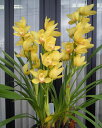 [exchange of presents use for homes] free shipping! Cymbidium [opening of a store celebration, a gift, the year-end present presents it on Mizuno   cymbidium   orchid, , the birthday when I was brought up in good health while hearing the sound of the clear stream in nature which the green that vertical three of them stand, and can choose  favorite color is rich in]