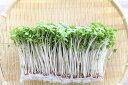 シャキシャキ歯ごたえ スルフォラファン ビタミンAが豊富ブロッコリーの新芽(スプラウト) ... ...