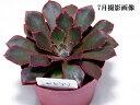 多肉植物 【シャビアナ】属名: エケベリア【インテリア ミニグリーン観葉 】(多ファンクイーン肉 植物 販売)