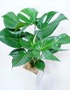 モンステラ鉢【観葉植物 インテリア モンステラ 】美しい観葉植物 スタイリッシュ ミニ観葉植物