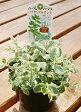 ハーブの苗物販売 「10.5cmポット」【ハーブ】パイナップルミント ハーブ苗/お庭の「夏」対策