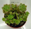 多肉植物 【リトルビューティー】 レビュー15件【インテリア ミニグリーン観葉 】(多肉 植物 販売)