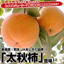 新食感!熊本 JAあしきた「太秋柿」3.5キロ(8玉から14玉)