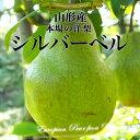 山形県産 本場の洋梨 シルバーベル 約3キロ(5から11玉)