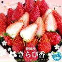 静岡産 きらぴ香 約960g1箱(約480g×2入り)市場発送 苺 いちご イチゴ