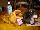 ダックスヌイグルミ リアルでかわいい、さわり心地も最高 チョコ&タン /レッド(全長30cm)【送料無料】 (犬、いぬ、イヌ、人形、玩具、おもちゃ、ぬいぐるみ、キャラクターグッズ)