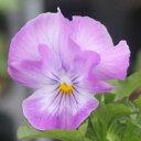 よく咲くスミレ ライチ3苗
