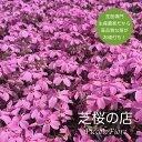 芝桜 オータムローズ(桃色の花)1株 3号9センチポット