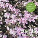 芝桜 キャンディストライプ(多摩の流れ) 1株 3号 9センチポット 芝桜 ピンク 白 ストライプ 苗 花苗 春 秋