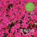 芝桜 (赤い花)スカーレットフレイム 1株 3号9センチポット