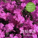芝桜 ダニエルクッション(鮮やかなピンクの花) 9センチ3号ポット 高品質 低価格 秋 ガーデニング 植え付け 植栽 適期