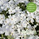 芝桜 モンブランホワイト(純白の花) 1ポット 3号 9センチポット