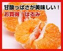 高糖度なのにさっぱりした味 春柑橘の最高傑作 【デコポンより美味】定番はるみ2kg【smtb-k】【w1】【減農薬だから見た目は訳あり】【送料無料】