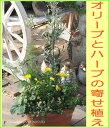 楽天ガーデニングショップ四季の里◆新商品◆[ギフト●ご自宅用に]オリーブ/オリーブの木とハーブ香りの寄せ植え