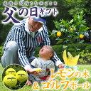 【送料無料】実付き!レモンの木&ゴルフボール3個セット【3年...