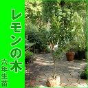 """【販売開始しました】トゲなしレモンの木""""ビアフランカ""""(樹高:1.2m内外)[6年生苗・大苗]"""