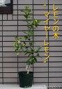 2021.8.15現在、実付き【送料無料】【ギフト・ご自宅】レモンの木鉢植え(マイヤーレモン)レモン/檸檬高さ:0.9m内外