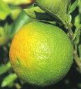 柑橘類 カボス(大分1号) (せんばつかぼす(おおいた1ごう) 2年生苗