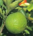 柑橘類 無核カボス(祖母の香) (むかくかぼす) 2年生苗
